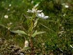 Chickweed Wintergreen (Trientalis europaea)